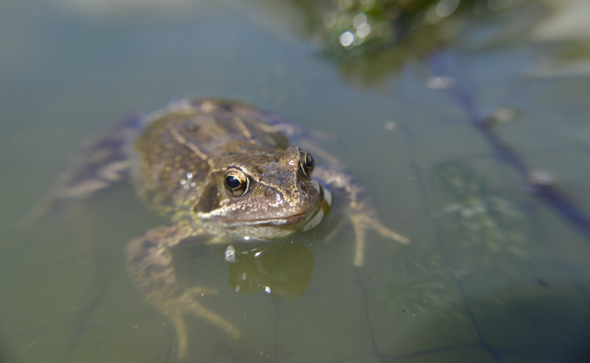 Frog in Pond.