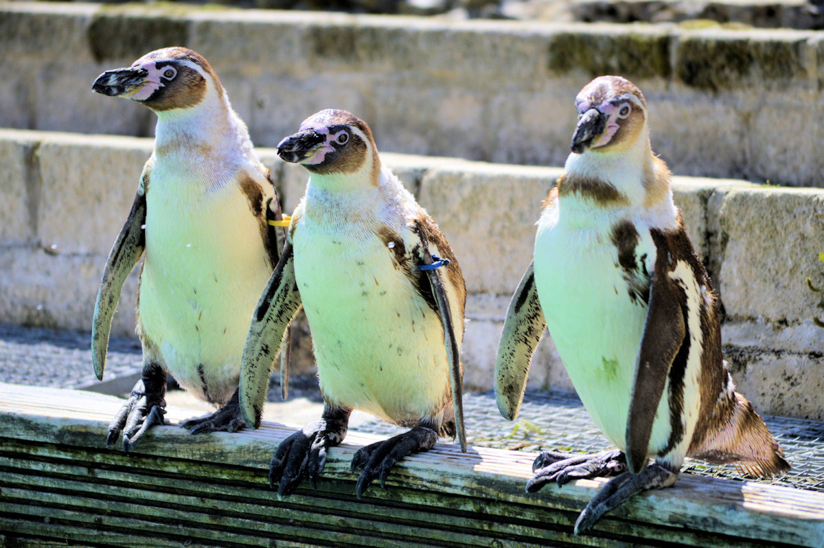 Trio of Penguins